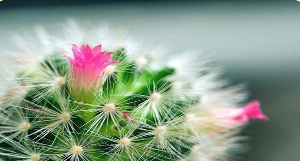 Kord läks üks kaktus õitsema