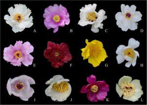 (A) P. jishanensis; (B) P. decomposita; (C) P. rockii; (D) P. ostii; (E) P. qiui; (F) P. delavayi; (G) P. ludlowii; (H) P. lactiflora; (I) P. mairei; (J) P. sterniana; (K) P. anomala; (L) P. obovata.